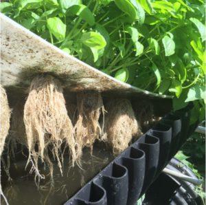 DWC Aquaponics close-up with roots