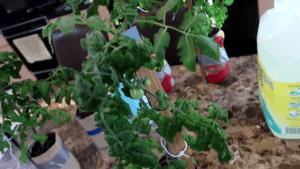 Kratky lettuce