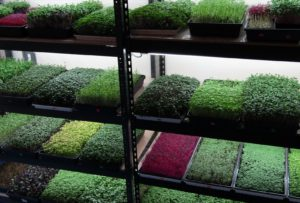 Make money growing different kinds of microgreens